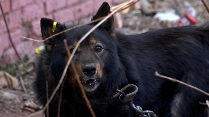 Криминальный собачий бизнес
