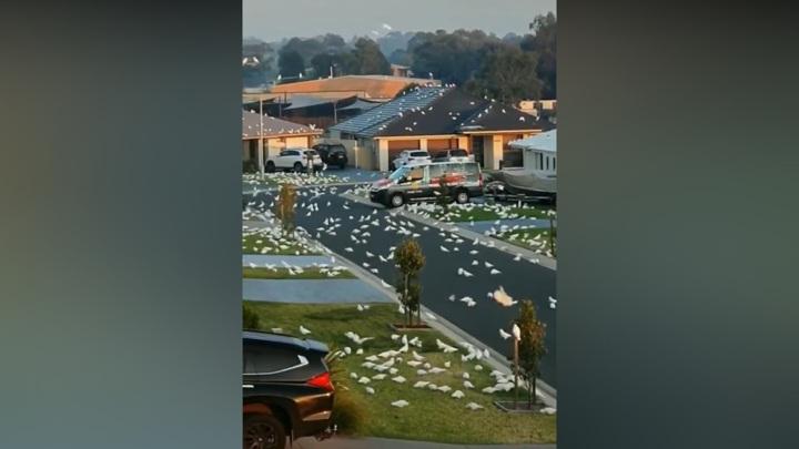 Тысячи попугаев заполонили австралийский городок
