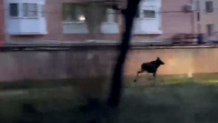 В Ярославле лось устроил спринт по городу