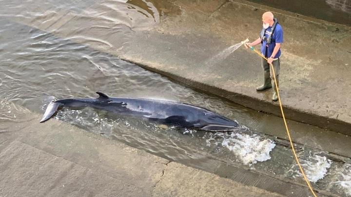 Детеныш кита застрял в одном из шлюзов Темзы в Лондоне, его удалось спасти