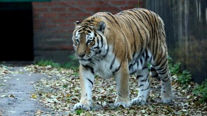 В зоопарке Пензы умер известный амурский тигр Самур