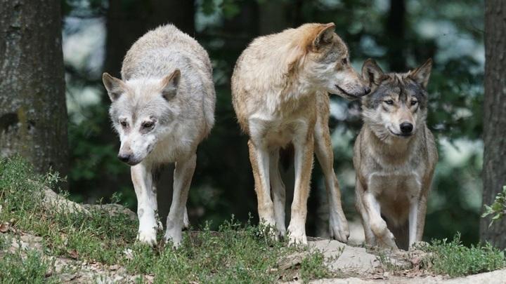 На Алтае охотников будут премировать за отстрел волков