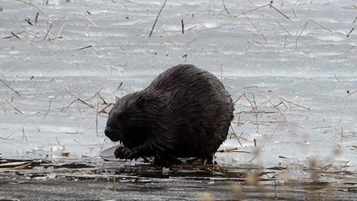 В Челябинской области сняли обед самого придирчивого бобра