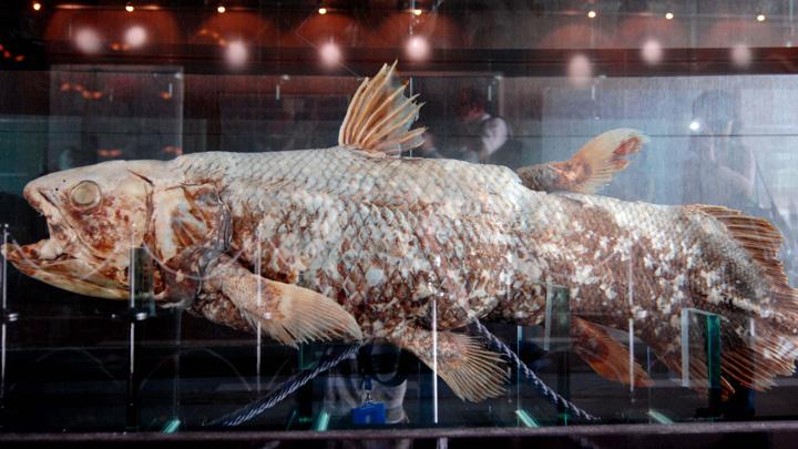 Впервые эту рыбу, считавшуюся вымершей десятки миллионов лет назад, обнаружили в водах Индийского океана в 1938 году.