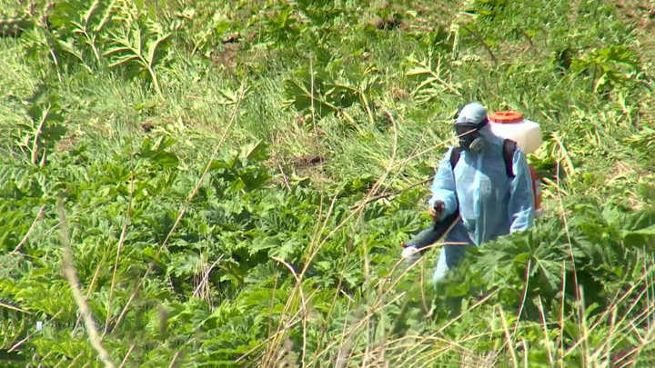 В Янтарном крае объявили войну борщевику