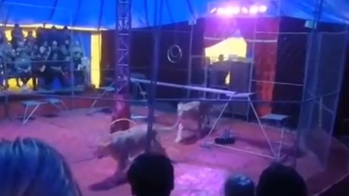 В Новосибирске началась проверка после нападения львицы на дрессировщика