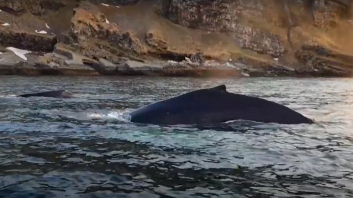 Горбатые киты отведали мойву у берегов Кольского полуострова