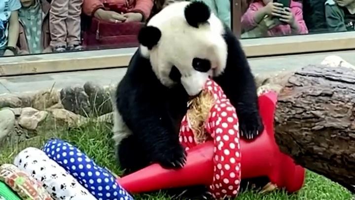 Панд Московского зоопарка порадовали в честь Дня защиты детей