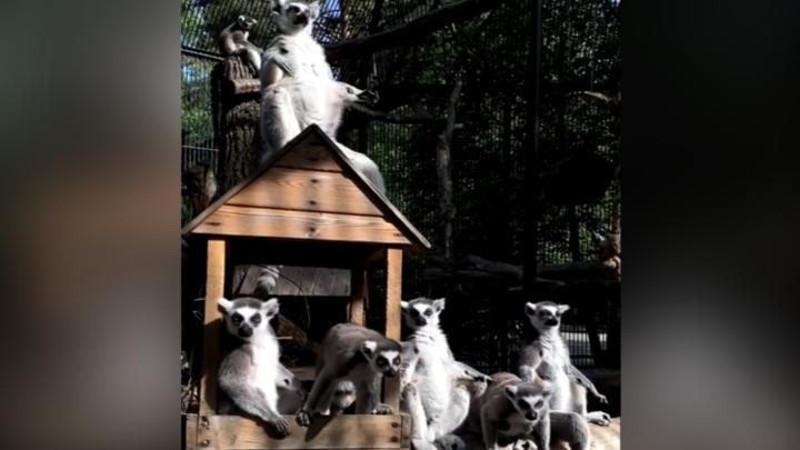 Новосибирский зоопарк опубликовал забавное видео с лемурами