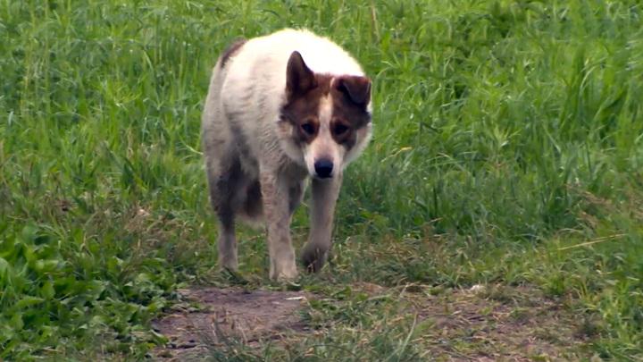 Нога в клочья. В приморском Артеме бездомные собаки нападают на детей