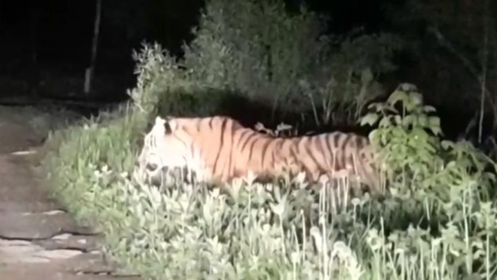 На Дальнем Востоке тигры все чаще встречаются с людьми