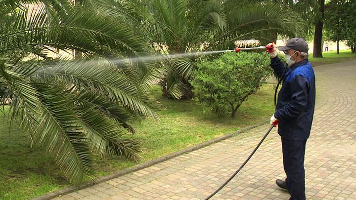 """""""Враг не пролетит"""". Более 3,5 тысяч пальм Сочи защищены от вредителей"""