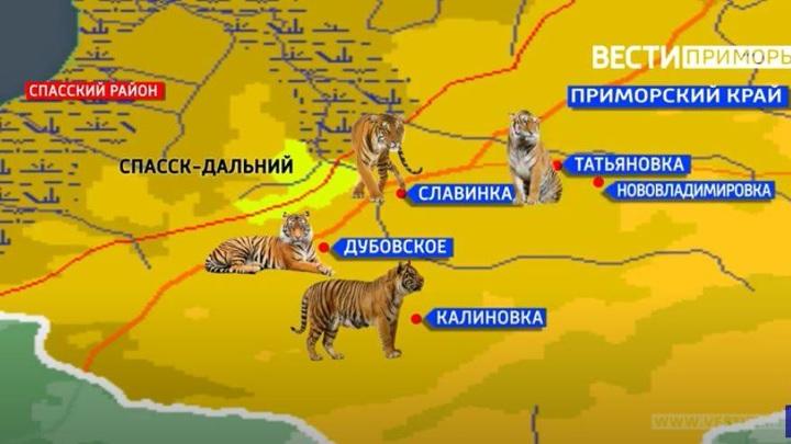 В поисках провизии: тигры пришли в гости к жителям Приморья