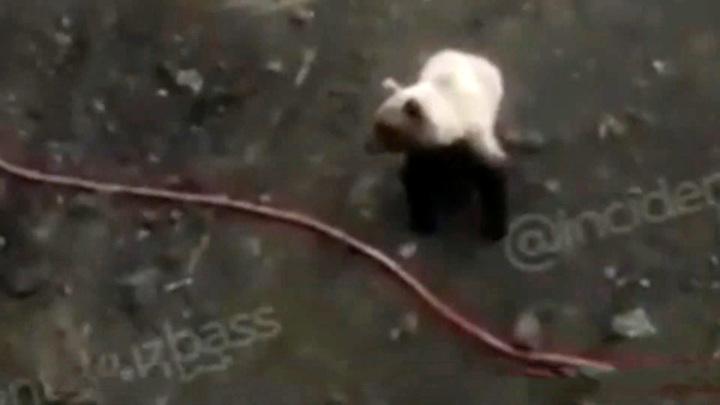 """Хэллоуин заранее"": медведь напугал кемеровчан"