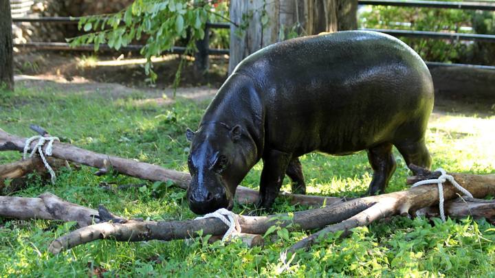 Московский зоопарк: домик для карликового бегемота Ксюши обойдется в 31 миллион