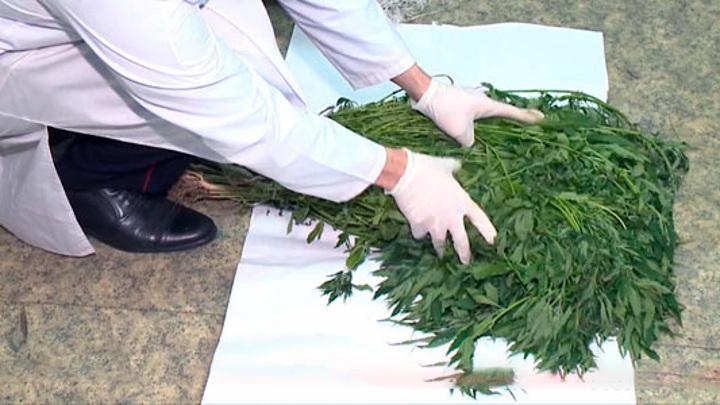 """44-летний """"садовод"""" из Притамбовья выращивал коноплю, пока не пришла полиция"""