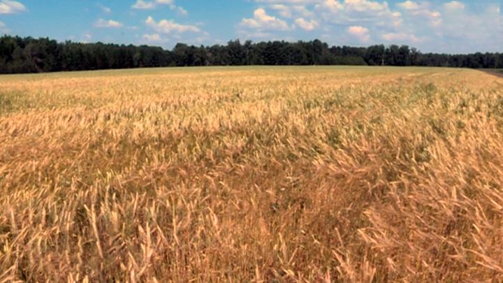 """""""Убийца урожая"""": в Курганской области жара уничтожает посевы"""