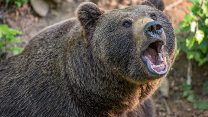 Медведя, убившего туриста в Красноярском крае, застрелили