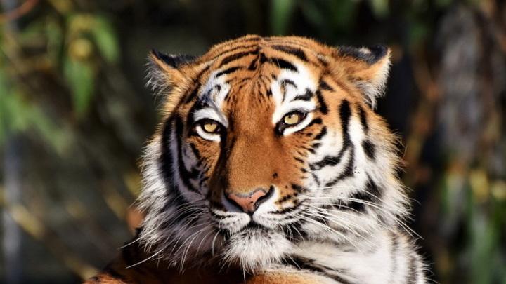У тигрицы Елены в Приамурье появился потенциальный жених