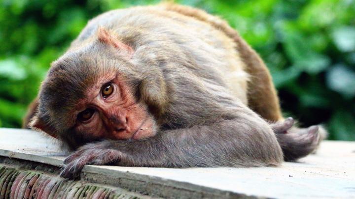 В Китае впервые умер человек, заразившийся вирусом обезьяны B