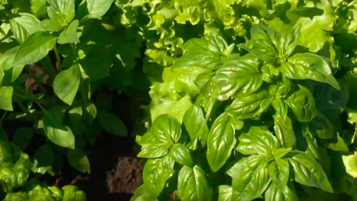 Зеленый или фиолетовый: какой базилик полезнее