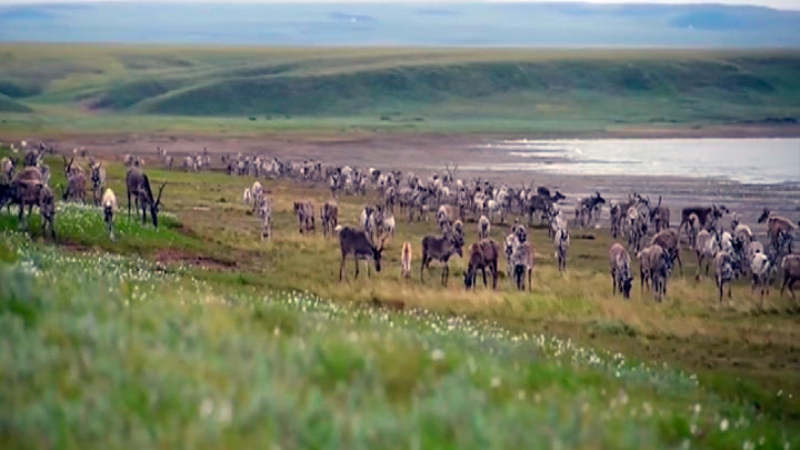 На Таймыре подсчет особей северного оленя ведется с помощью авиации