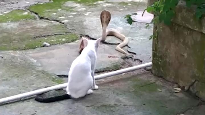 Отважная кошка полчаса защищала дом от смертельно опасной змеи