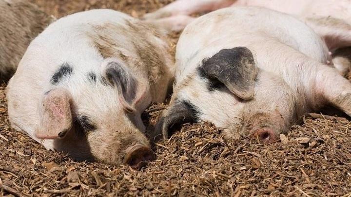 В Приморье обнаружили африканскую чуму свиней
