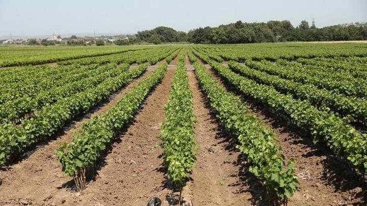 От Эстонии до США: с начала года Кубань на треть увеличила экспорт вина