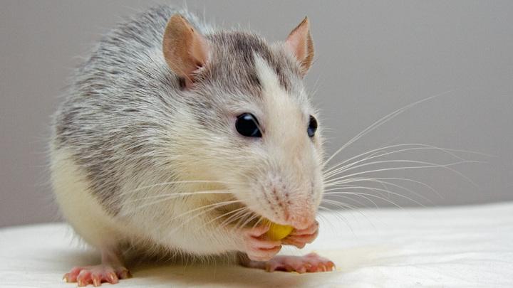 Новый способ борьбы с ожирением? Мыши потеют жиром