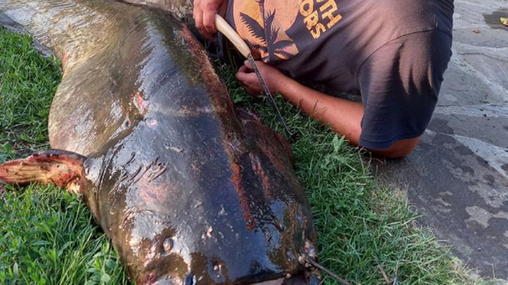 Речной монстр: житель Сызрани поймал 80-килограммового сома
