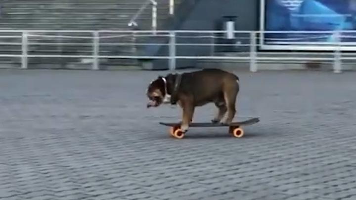 Бульдог на скейтборде покорил сердца не только приморцев, но и пользователей сети