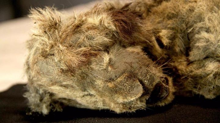 Замёрзшие тела пещерных львят сохранились так хорошо, что на их мордах всё ещё можно увидеть усы.