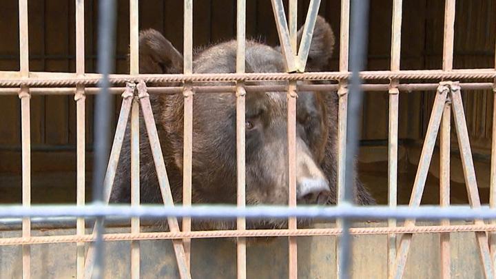 Зоозащитники обвинили московский ресторан в издевательстве над медведем и волком