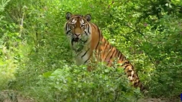 """Тигр откусил ребенку палец в парке """"Тайган"""""""