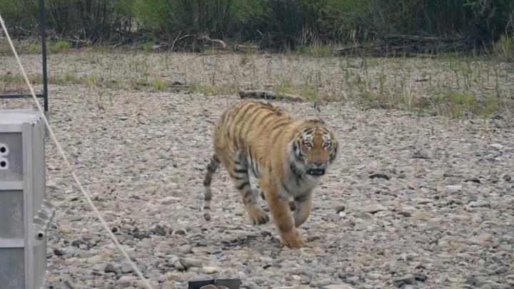 Тигрица загнала грибников на дерево в Приморье