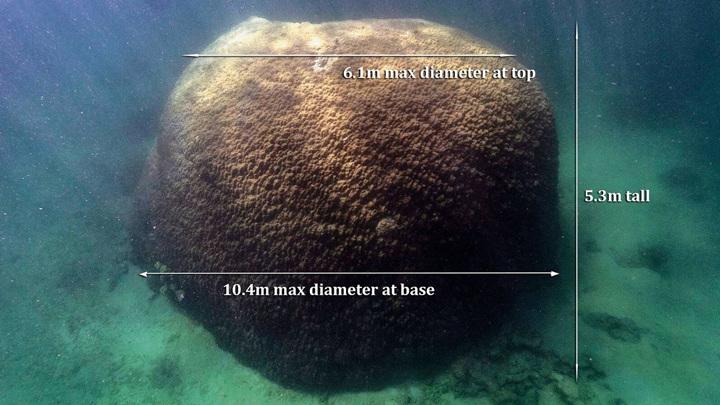 Очень крупный коралл Большого Барьерного рифа похож на огромный губчатый шар.