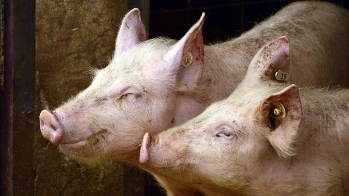 В Марий Эл сельчане, потерявшие скот из-за вспышки АЧС, получат выплаты
