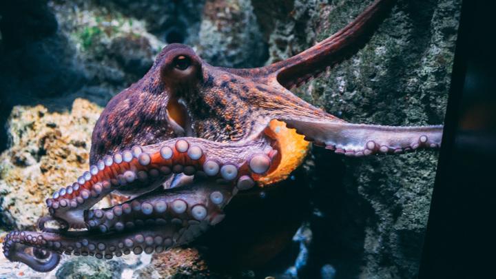 Поведение осьминогов не перестаёт удивлять учёных. По всей видимости, эти головоногие моллюски в ходе эволюции развили очень своеобразный тип социального поведения.