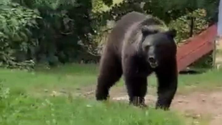 Медведь гулял под окнами жителей поселка во Владимирской области