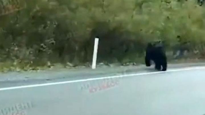 Кузбасские водители сняли на видео встречу с медведем
