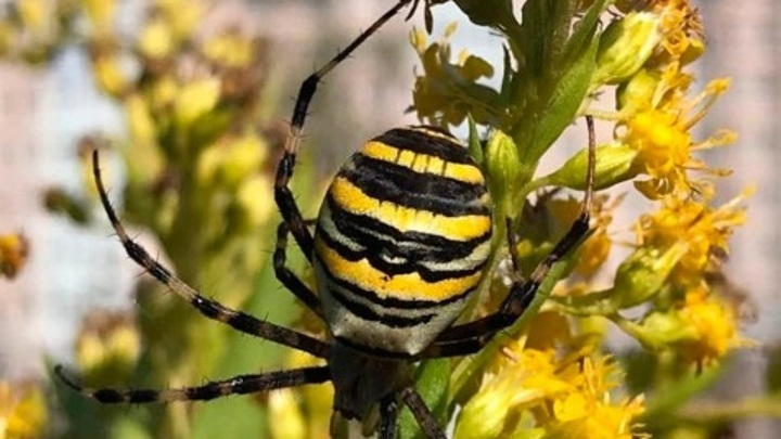 Паук-оса с мощными челюстями свил паутину в центре Калуги