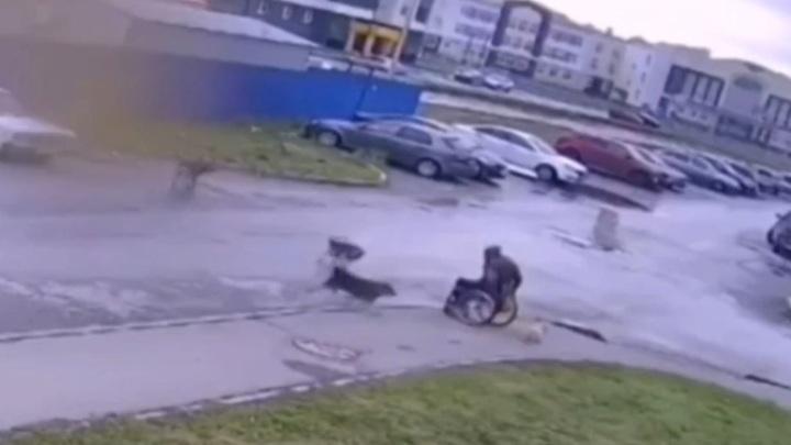 Инвалид-колясочник защитил своего пса от стаи бродячих собак