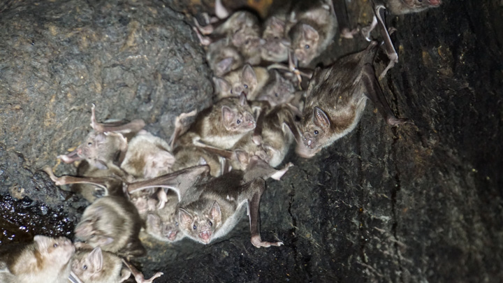 Группа обыкновенных вампиров (вид Desmodus rotundus) прячется в стволе дерева.