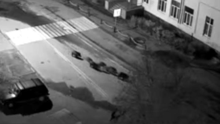 Стадо кабанов гуляло по центру Карелии