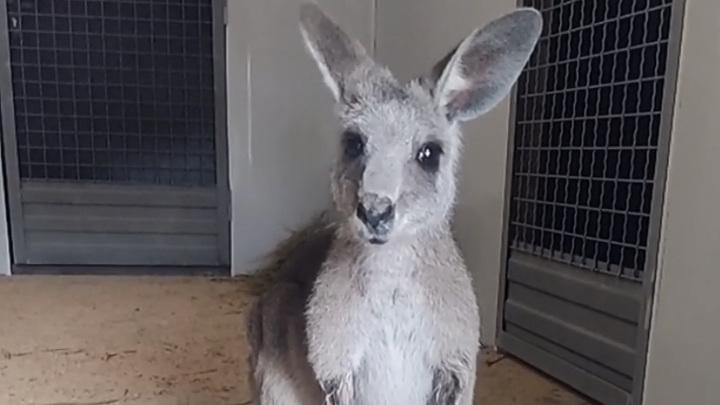 В Ростовском зоопарке поселился серый кенгуру