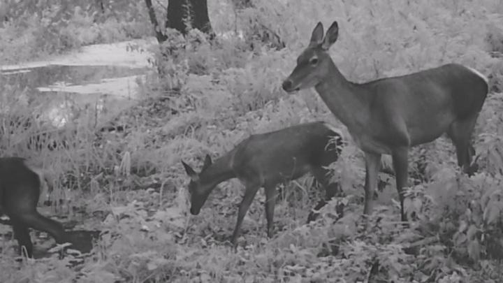 В Липецкой области олени, лоси, кабан и енотовидная собака попали на видео