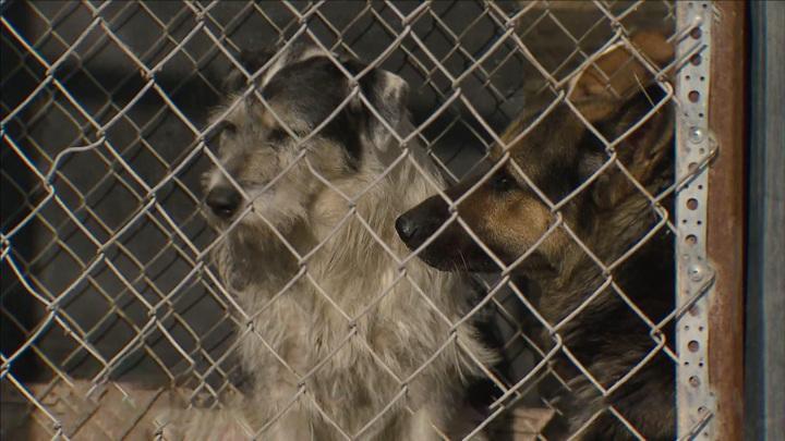 Яд в собачьем корме: ЧП в подмосковном приюте уже не первое