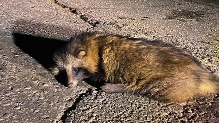 Операция после ДТП: детеныша енотовидной собаки везут в Москву из Ярославля