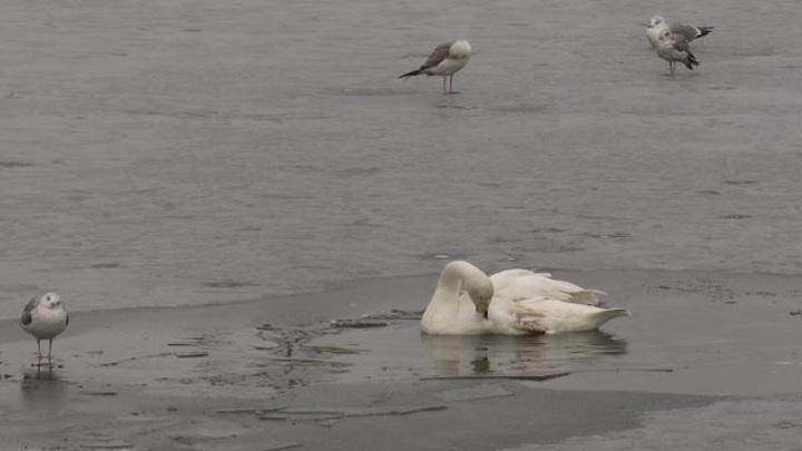 На Ямале спасли замерзающего на озере лебедя